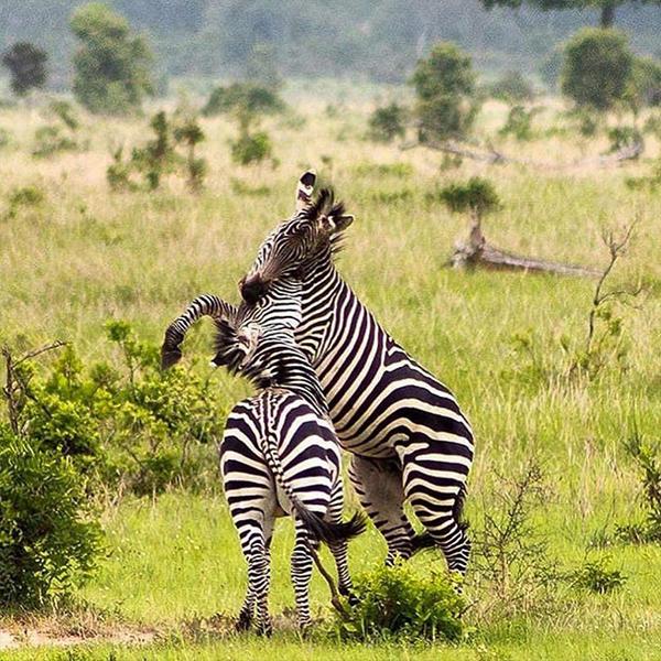 Zebra at Mikumi National Park